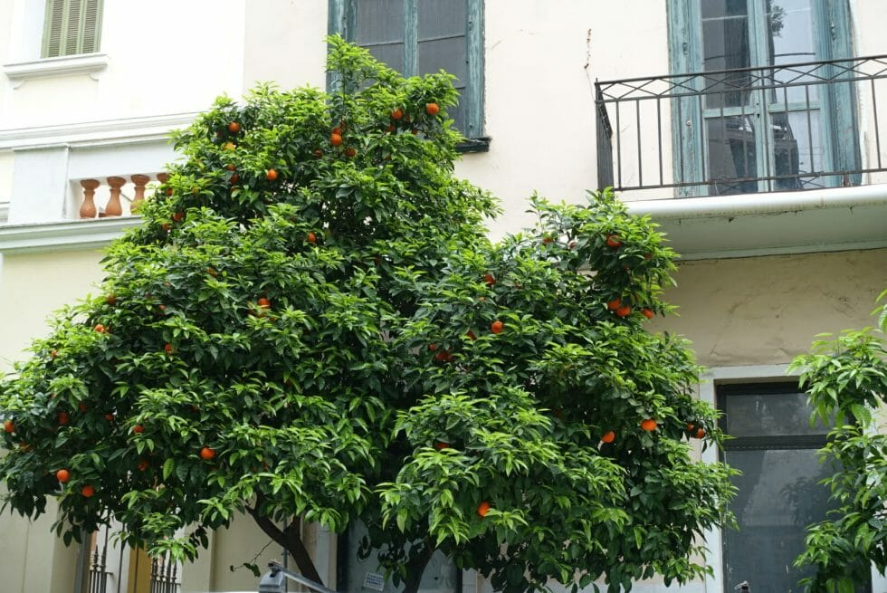Bitter orange tree on the street