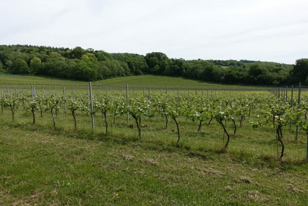 View across Albury vineyard with the woods in the background