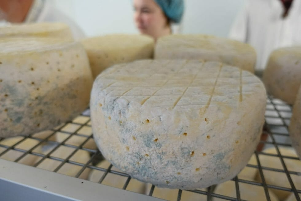 Blue cheese with stab marks from aeration