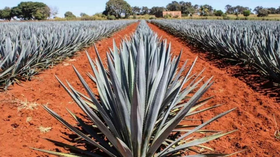Rows of blue green agave plants in a red soil field